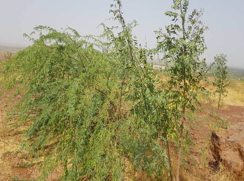 PICTURES FROM PLANTED DEGRADED LANDS OF SOKOTO NEWMAP